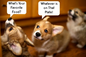 Corgis Favorite Food