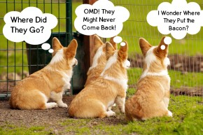 Abandoned Corgis Waiting for Bacon