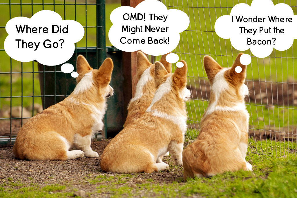 Corgis Waiting For Bacon