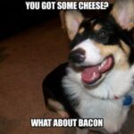 Corgi Wants Cheese