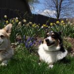 Jigsaw Puzzle: Corgis in the Garden