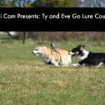 Corgi Cam: Ty and Evie Go Lure Coursing
