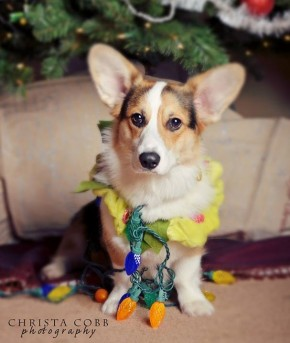 Dexter The Corgi Dressed Up For Christmas