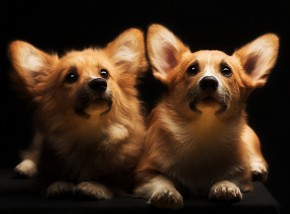 Two Beautiful Fluffy Corgis