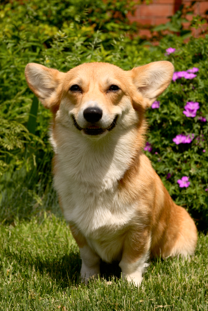 big corgi smile