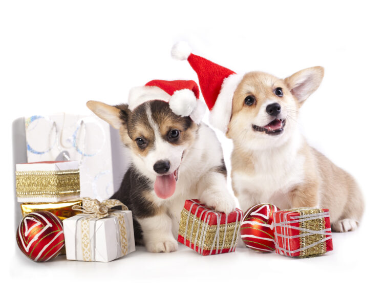 Image result for corgi christmas
