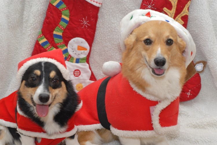 corgis dressed up for christmas