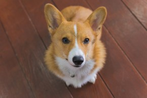 Cute Corgi Photo